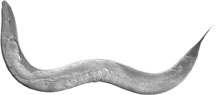 C elegans